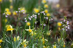 Wild daffodil with Lady's Smock or Cuckooflower. Narcissus pseudonarcissus with Cardamine pratensis