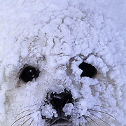 Harp Seal, (Pagophilus groenlandicus) Close-up portrait of pup with ice caked on face. Nova Scotia. Canada. Spring.