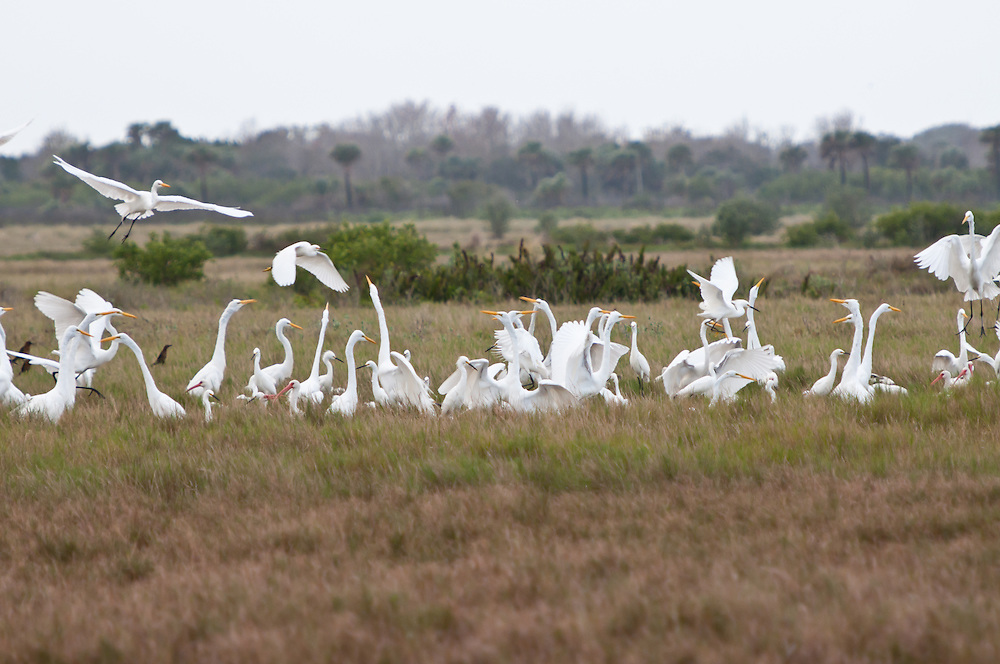 Several specias of bird interact in Merritt Island National Wildlife Refuge, on the Space Coast, Florida. Photo by William Drumm, 2013.