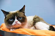 Internet Sensation Grumpy Cat at The Friskies Create & Taste Kitchen in New York City, NY, USA, August 19, 2015. Photo by MM/ABACAPRESS.COM  Chats Chat Cat Cats  | 512637_001 New York City Etats-Unis United States