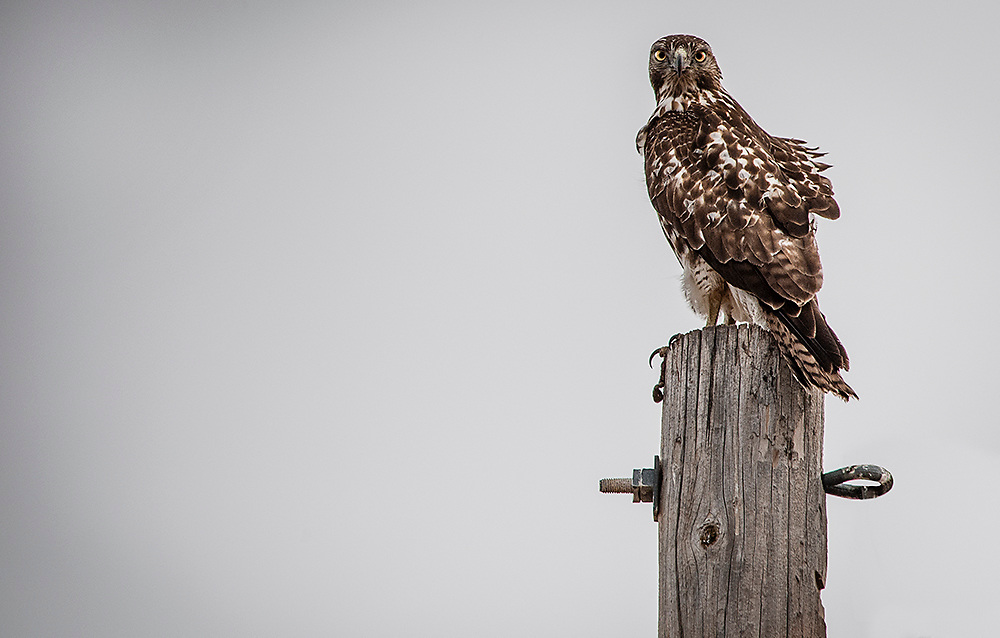 """A Young Red-Tailed Hawk. Fine Art Photography. New Mexico. USA.<br /> <br /> AVAILABLE AS:<br /> <br /> Size 20"""" x 16"""" (50.8cm x 40.6cm approx)*<br /> Edition of ONLY 100 at this size.<br /> US$350 + shipping<br /> <br /> Hand printed in Taos, New Mexico, USA by Taos Print and Photography Services using archival inks and fine art paper. signed and numbered by hand.<br /> <br /> Contact jim@jimodonnellphotography.com to order"""