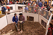 SWEETWATER, TX - MARCH 14: Jaycees volunteer snake handlers in the main snake pit during the 51st Annual Sweetwater Texas Rattlesnake Round-Up, March 14, 2009 in Sweetwater, Texas. Approximately 24,000 pounds of rattlesnakes will be collected, milked for venom and the meat served to support charity. (Photo by Richard Ellis)