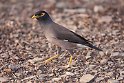 Common myna bird, Acridotheres tristis, in Ranthambhore National Park, Rajasthan, Northern India