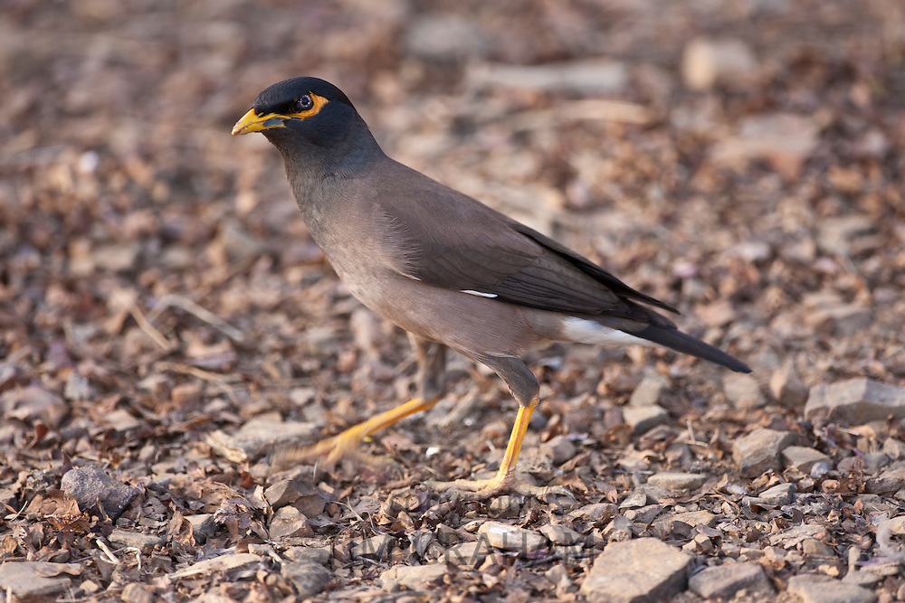 Common myna bird, Acridotheres tristis, in Ranthambhore National Park, Rajasthan, Northern India