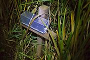 Harvest mouse (Micromys minutus) trap on survey after dark. Surrey, UK.