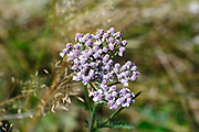 Purple flower head, Photographed on Elfer Mountain, Stubai Valley, Tyrol, Austria in September