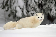 Arctic Wolf (Canis lupus arctos), also called snow wolf or white wolf, is a subspecies of the gray wolf