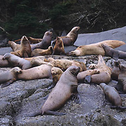 Northern Fur Seal, (Callorhinus ursinus)  Sunning selves on rocks near Kodiak Island. Alaska.