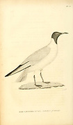 Red Legged Gull from the 1825 volume (Aves) of 'General Zoology or Systematic Natural History' by British naturalist George Shaw (1751-1813). Shaw wrote the text (in English and Latin). He was a medical doctor, a Fellow of the Royal Society, co-founder of the Linnean Society and a zoologist at the British Museum. Engraved by Mrs. Griffith