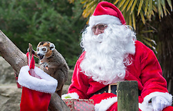 © Licensed to London News Pictures.  29/11/2017; Bristol, UK. Bristol Zoo gives Christmas presents to some of its animals. Pictured Santa with Crowned lemurs from Madagascar. Picture credit : Simon Chapman/LNP