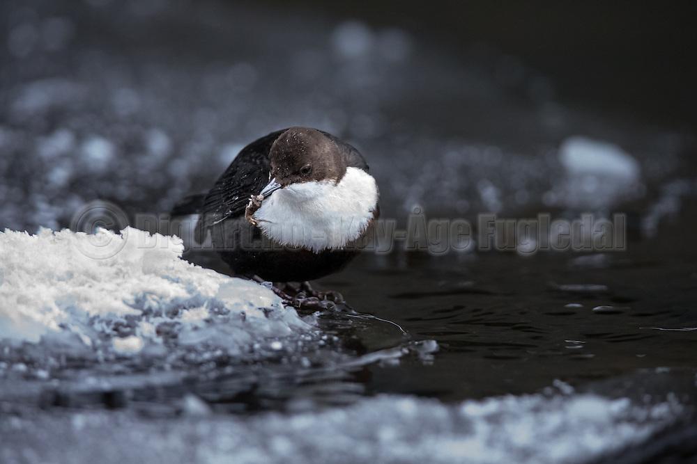 Dipper catching food | Fossekall fanger mat.