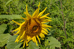 Helianthus or sunflowers L. is a strain of plants comprising about 70 species in the family Asteraceae.  These were found at Matthiessen State Park near Utica Illinois.