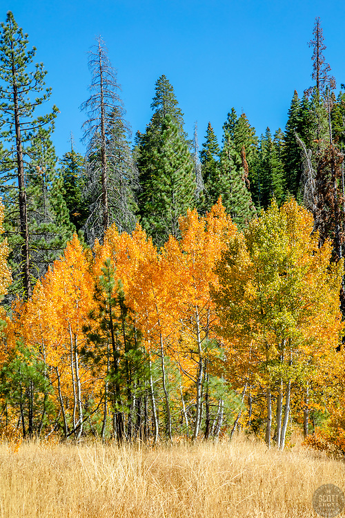 """""""Autumn Aspens 5"""" - Photograph of an aspen grove among the pine trees, near the top of Highway 267 in between Truckee and Kings Beach, California."""