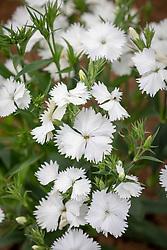 Dianthus barbatus 'Festival White' Festival Series.<br /> Sweet william.
