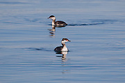 Two horned grebes (Podiceps auritus), displaying their winter nonbreeding plumage, swim on Puget Sound near Hansville, Washington.