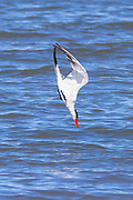A Caspian tern (Hydroprogne caspia) dives for fish in Possession Sound near Everett, Washington.