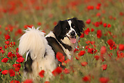 A dog in a field of spring poppies