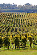 vineyard chateau guiraud sauternes bordeaux france