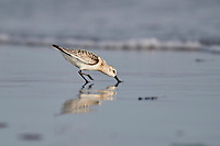 Sanderling (Calidris alba), Cherry Hill Beach, Nova Scotia, Canada