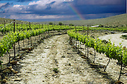 Vinyard on a stormy day with a rainbow in the background