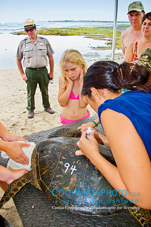Park Ranger and bystandards, observing a student from Hawaii Preparatory Academy (HPA) tracing an inscribed number with white house paint, Sea Turtle Research, organized by researcher George Balazs PhD, NOAA National Marine Fisheries Service (NMFS), HPA students and teachers (NOAA/HPA Marine Turtle Program), and ReefTeach volunteers at Kaloko-Honokohau National Historical Park, Kona Coast, Big Island, Hawaii, Pacific Ocean.