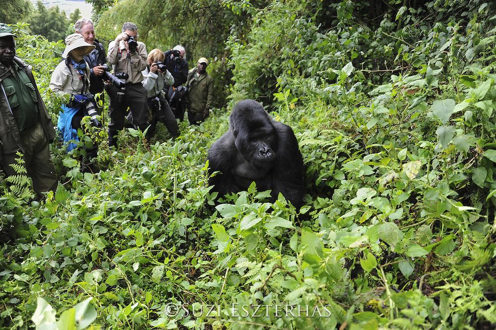 Mountain Gorilla<br /> Gorilla gorilla beringei<br /> Tourist group watching silverback<br /> Parc National des Volcans, Rwanda<br /> *Endangered species