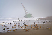 Shorebirds feed on Salmon Creek Beach at the wreck of Verna A II, a fishing vessel that washed up on Salmon Creek Beach in September, 2016
