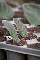 Taking leaf petiole cuttings from Saintpaulias (African Violet). Leaf cuttings in module tray
