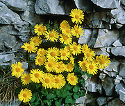 """Alpine yellow composite wildflowers bloom in the north Pindus Mountains (Pindos or Pindhos), Zagoria, Epirus/Epiros, Greece, Europe. The aster, daisy, or sunflower family (Asteraceae or Compositae) is the largest family of vascular plants. Zagori (Greek: ) is a region and a municipality in the Pindus mountains in Epirus, in northwestern Greece. Zagori contains 45 villages collectively known as Zagoria (Zagorochoria or Zagorohoria). Published in """"Pindos: The National Park"""" (2010) by Alexander G. Tziolas, preface by Tom Dempsey et al, ISBN 978-960-98795-3-8."""