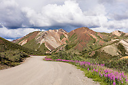 Colorful mountain and Fireweed (Epilobium augustifolium) at east end of Sable Pass in Denali National Park in Southcentral Alaska. Summer. Afternoon.