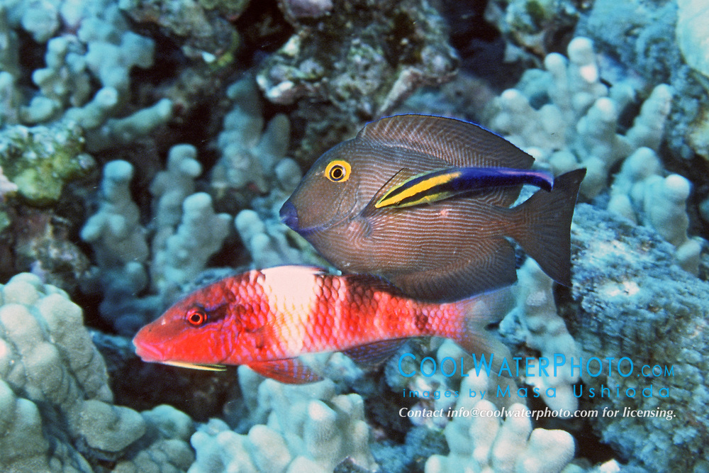 gold ring surgeonfish, Ctenochaetus strigosus, endemic to Hawaii, and manybar goatfish, Parrupeneus multifasciatus, cleaned by Hawaiian cleaner wrasse, Labroides phthirophagus, endemic, Kona, Big Island, Hawaii, Pacific Ocean