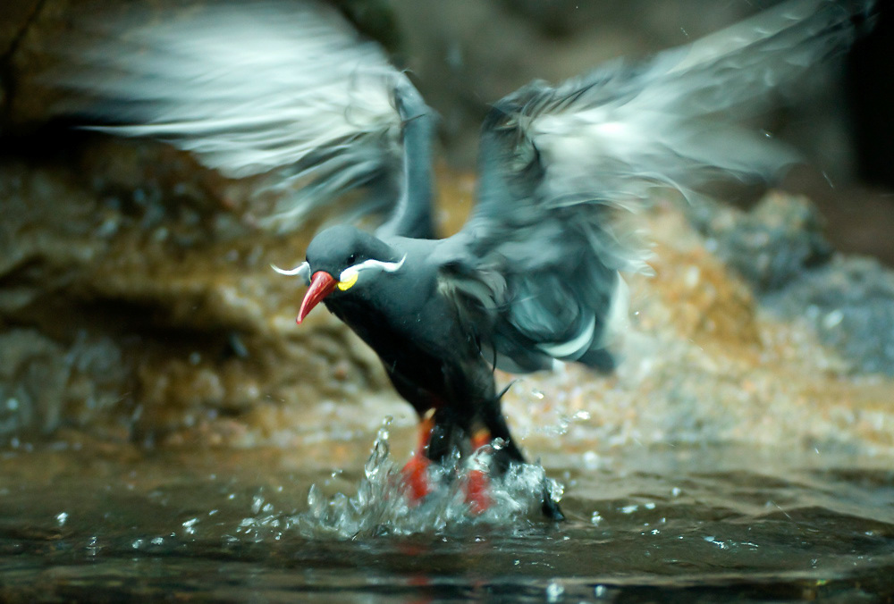 An Inca tern splashes in a pool at the Denver Zoo.