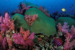 Colorful soft corals, Dendronepthya sp., grow amidst large colonies of hard coral, Diploastrea heliopora, accented by Golden Damselfish, Amblyglyphidodon aureus and a Crown-Of-Thorns Sea Star, Acanthaster planci; all typical underwater scenery in the Andaman Sea. Hin Muang/Purple Rock, Thailand, Andaman Sea