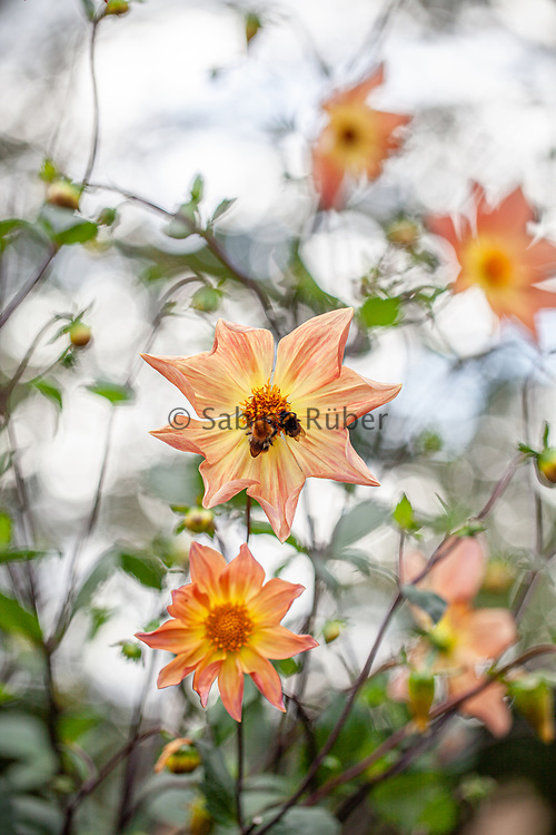 Dahlia coccinea and a bumble bee