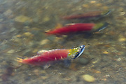 A long exposure captures the motion of three sockeye salmon (Oncorhynchus nerka), showing their red breeding coloration, swimming up the Cedar River in Renton, Washington toward their spawning grounds. Sockeye salmon are blue-tinged and silver when they live in the ocean; their bodies turn red and their heads green when they return to freshwater rivers to spawn.