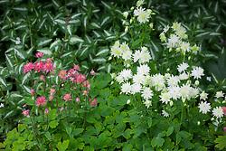 Aquilegias with variegated deadnettle. Aquilegia vulgaris, Lamium