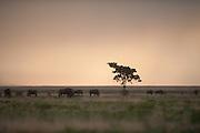 Grazing wildebeest waiting for the rains near Matamanene.