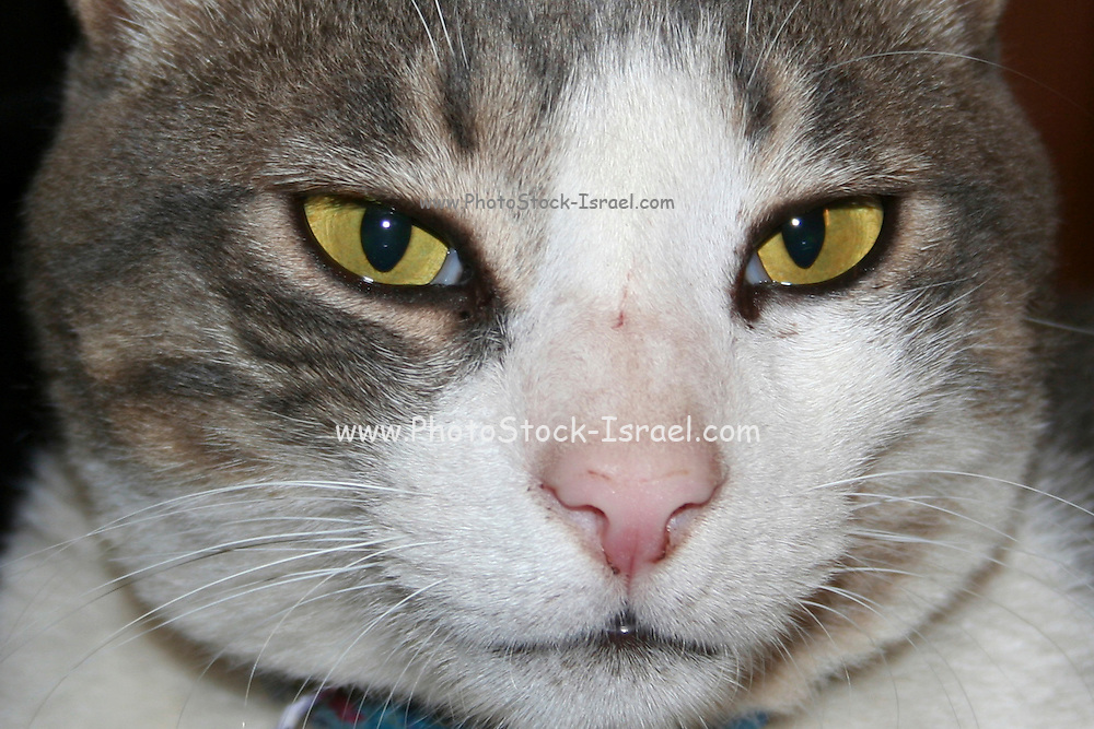 Close up of the face of a black and grey cat