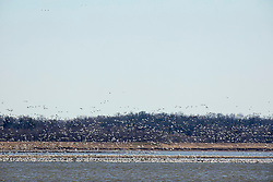 A large flock of birds, presumably snow geese, float over the blue water in late winter at Emiquon National Wildlife Refuge near Lewistown in Fulton Co Illinois