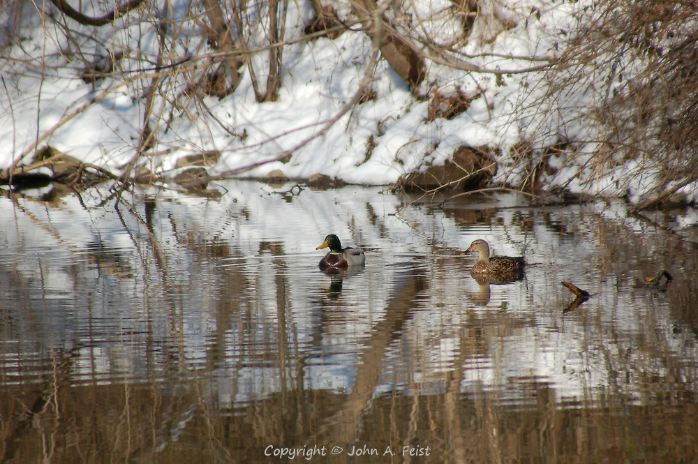 A pair of ducks, duck and drake, enjoying the winter sun as they swim on the D and R Canal in Hillsborough, NJ.  The snow and bare trees create an interesting reflection on the water.