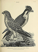 Mountain Kestrel, Crested Fisher Falcon Copperplate engraving From the Encyclopaedia Londinensis or, Universal dictionary of arts, sciences, and literature; Volume VII;  Edited by Wilkes, John. Published in London in 1810