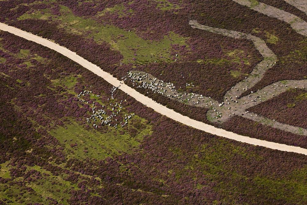Nederland, Drenthe, Gemeente Aa en Hunze, 08-09-2009; Balloerveld, deels ontgonnen heideveld, met netwerk van zandwegen en middeleeuwse karrensporen. Archeologische vindplaats (grafheuvels). De schaapskudde (met herder) zorgt voor begrazing en is een toeristische bezienswaardigheid.  De heide bij  Ballo maakt deel uit van het Nationaal beek- en esdorpenlandschap Drntsche Aa (Nationaal Park) en was in het verleden militair oefenterrein. .Balloerveld, partly cultivated moor, with network of dirt roads and medieval cart tracks. Archaeological site (burial mounds). The flock (with shepherd) provides grazing, the sheep are a tourist attraction. The heathland at Ballo is part of the National Landscape and was in the past a military training site.luchtfoto (toeslag); aerial photo (additional fee required); .foto Siebe Swart / photo Siebe Swart