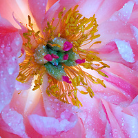 A close-up photograph of a pink peony  flower with backlight and water drops.