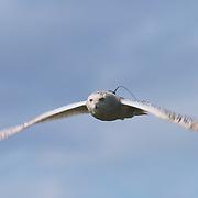 Snowy Owl (Bubo scandiacus) female in flight with a transmitter on her back. Barrow, Alaska