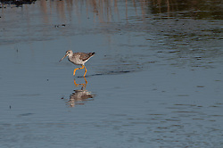 Lesser Yellowlegs (Tringa flavipes), Merritt Island National Wildlife Refuge, Titusville, Florida, US