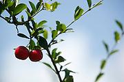 Marco_CE, Brasil.<br /> <br /> Plantacao de acerola (Malpighia emarginata) em Marco, Ceara.<br /> <br /> Barbados cherry (Malpighia emarginata) plantation in Marco, Ceara.<br /> <br /> Foto:  BRUNO MAGALHAES / NITRO