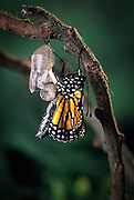 Emerging monarch butterfly (Danaus Plexippus). The butterly has just pushed itself out of the chrysalis casing. (8 0f 11).