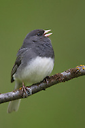 Dark-eyed Junco - Junco hyemalis (Slate-colored race) - male