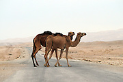 Israel, Negev Deset, Arabian camel (Camelus dromedarius) crosses the street