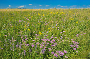 Bergamot in Fescue Prairie<br />Riding Mountain National Park<br />Manitoba<br />Canada